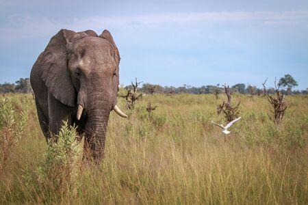 An Elephant starring at the camera in the Okavango Delta, Botswana. Stock Photo
