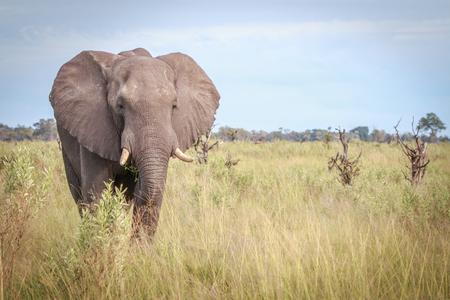 Ein Elefant, der an der Kamera im Okavango-Delta, Botswana die Hauptrolle spielt. Standard-Bild