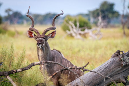 A male Kudu starring at the camera in the Okavango Delta, Botswana.
