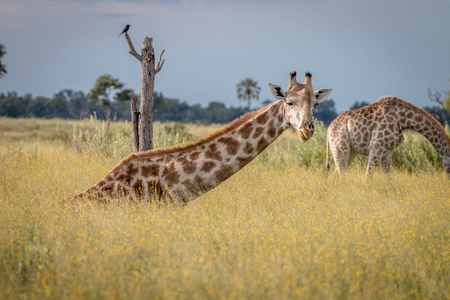 A Giraffe sitting in the grass in the Okavango Delta, Botswana.