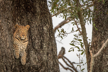 attentive: Leopard starring at the camera from a tree in the Okavango Delta, Botswana. Stock Photo