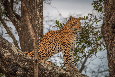 attentive: A Leopard checking the surroundings from the tree in the Okavango Delta, Botswana. Stock Photo