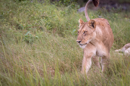 Okavango Delta: Female Lion walking in the grass in the Okavango Delta, Botswana. Stock Photo