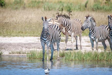 ungulate: Zebra standing in the water in the Chobe National Park, Botswana.