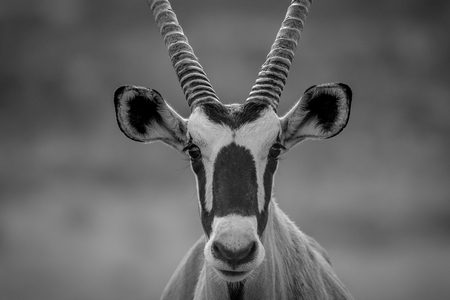 Close up of an Oryx starring at the camera in black and white , South Africa. Stock Photo
