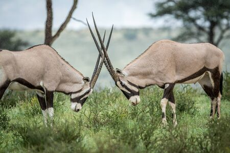 Two Oryx fighting in the grass , South Africa.