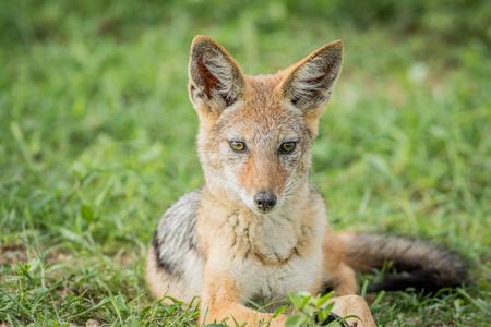 Black-backed jackal starring at something in the Etosha National Park, Namibia.