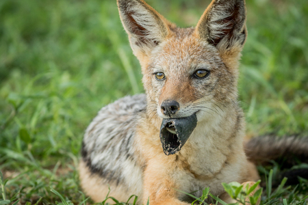 scavenger: Black-backed jackal with something in his mouth in the Etosha National Park, Namibia.