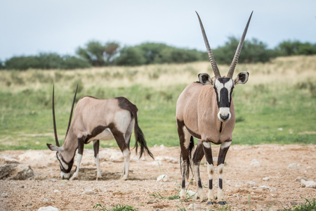 starring: Oryx starring at the camera , South Africa.