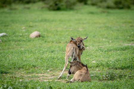 ungulate: Two Blue wildebeest calves in the grass in the Etosha National Park, Namibia. Stock Photo
