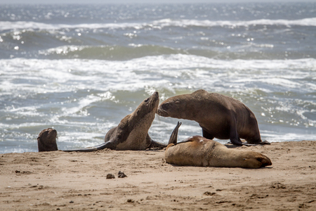 Group of Cape fur seals on the coast of the Namibian Desert, Namibia.