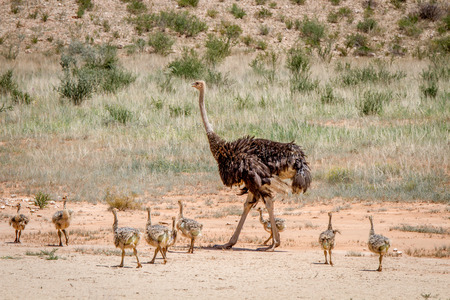 ostrich chick: Mother Ostrich with lots of chicks , South Africa.
