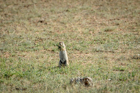 Ground squirrel eating some grass , South Africa. Stock Photo