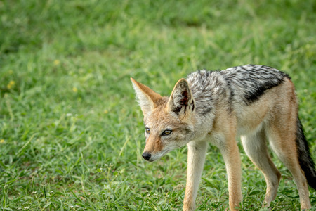 scavenger: Black-backed jackal standing in the grass in the Etosha National Park, Namibia. Stock Photo