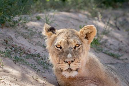 starring: Young male Lion starring at the camera , South Africa. Stock Photo
