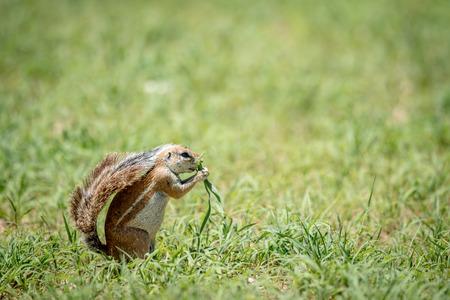 ardilla: Ardilla de tierra que come la hierba, Suráfrica.