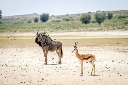 migrate: Blue wildebeest and Springbok standing in the sand , South Africa. Stock Photo