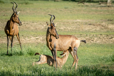 herbivores: Red hartebeest calf suckling from his mother , South Africa.