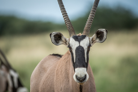 game drive: Close up of an Oryx starring at the camera , South Africa.