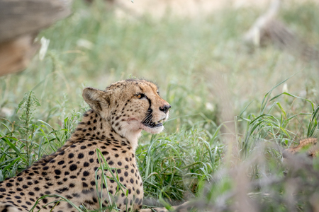 Side profile of a Cheetah in the high grasses, South Africa.