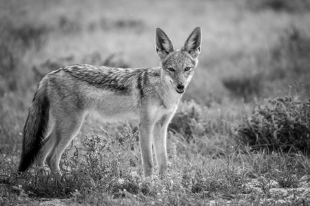 omnivore: Black-backed jackal looking at the camera in black and white , South Africa. Stock Photo