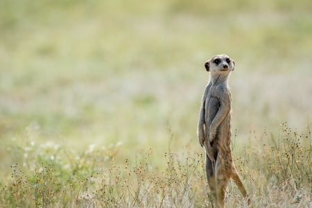Meerkat on the look out, South Africa.