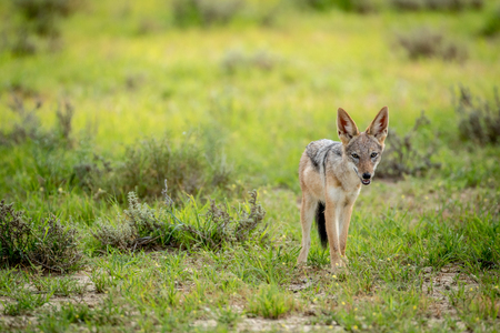 Black-backed jackal looking at the camera , South Africa. Stock Photo