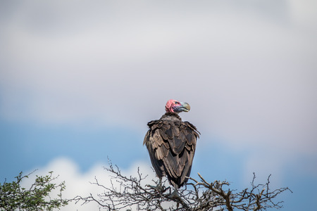 wingspan: Lappet-faced vulture on a branch , South Africa. Stock Photo
