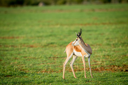 Side profile of a Springbok standing in the grass in the Etosha National Park, Namibia.