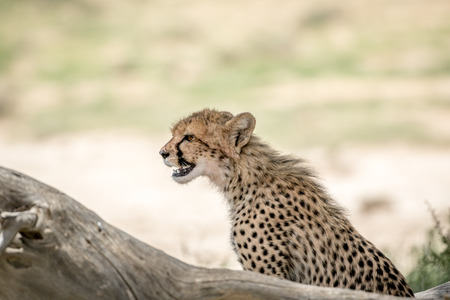 Side profile of a young Cheetah , South Africa. Stock Photo