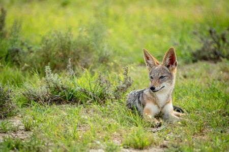 Side profile of a Black-backed jackal , South Africa.