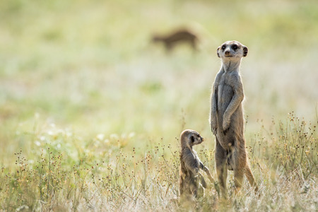 watchful: Meerkat on the look out , South Africa.