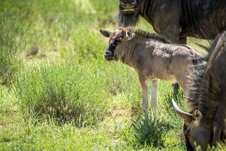 migrate: Young Blue wildebeest calf in between the herd, South Africa.