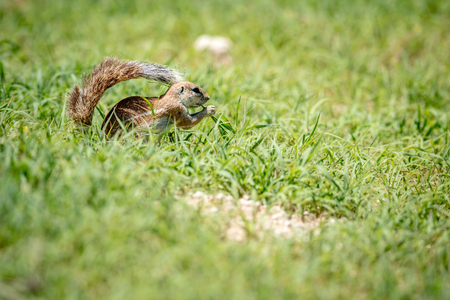 Ground squirrel eating grass, South Africa. Stock Photo