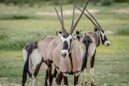 Oryx starring at the camera, South Africa. Stock Photo