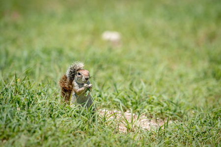 Ground squirrel eating grass , South Africa.