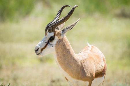 bovidae: Close up of a Springbok , South Africa.