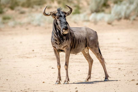 ungulate: Blue wildebeest standing in the sand, South Africa.
