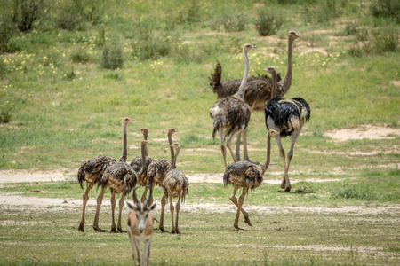 ostrich chick: Family of Ostriches in the grass , South Africa. Stock Photo