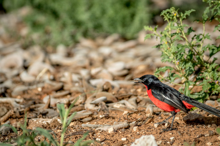 Crimson-breasted shrike on the ground, South Africa.