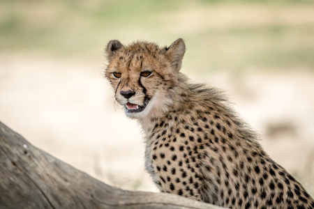 Young Cheetah looking around , South Africa.