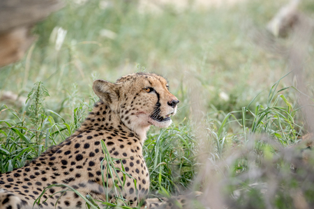 Side profile of a Cheetah in the high grasses in the Kalagadi Transfrontier Park, South Africa. Stock Photo