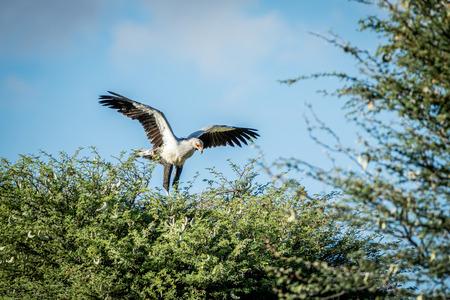 savannas: Secretary bird in a tree  , South Africa.