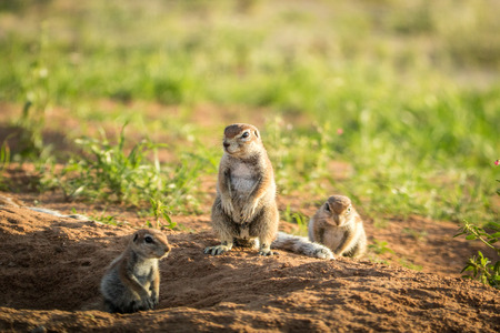 Group of Ground squirrels in the sand  , South Africa.