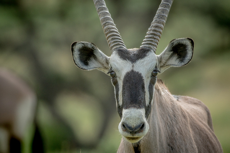 starring: Close up of an Oryx starring at the camera, South Africa.