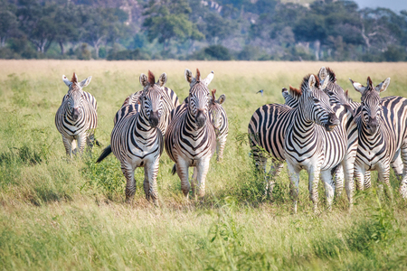 chobe: A herd of Zebras standing in the grass in the Chobe National Park, Botswana. Stock Photo