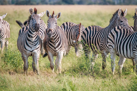 chobe: Two Zebras looking at the camera in the Chobe National Park, Botswana. Stock Photo