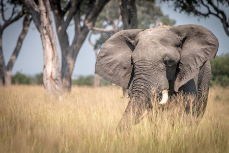 An Elephant walking in the grass in the Chobe National Park, Botswana. Stock Photo
