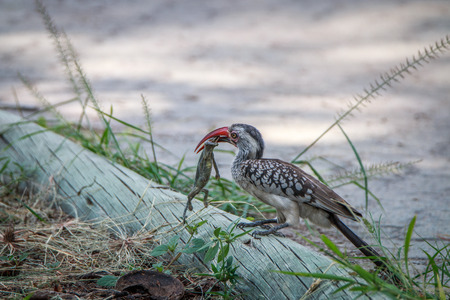 Red-billed hornbill with a kill in the Chobe National Park, Botswana.