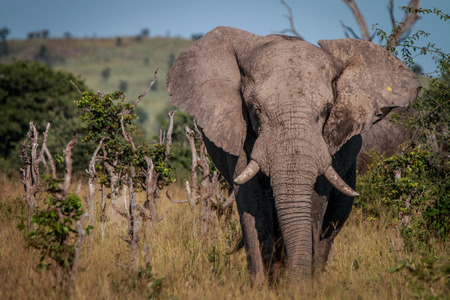 starring: An Elephant starring at the camera in the Chobe National Park, Botswana.